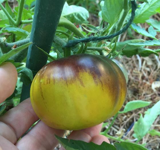 Lucid Gem tomato