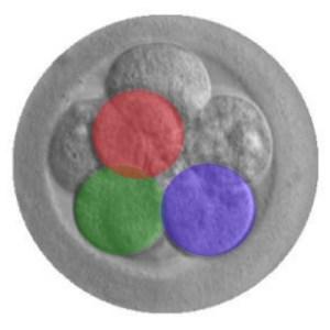 human embryo modification