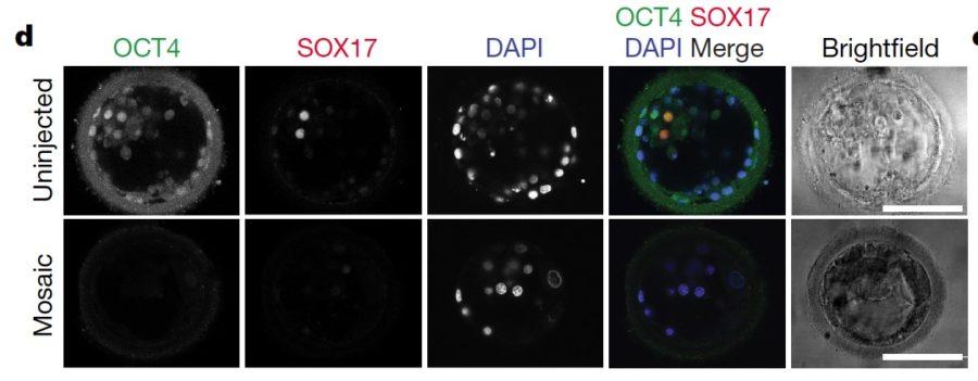 Fogarty-Fig-3d-human-embryo-CRISPR-e1505774206656