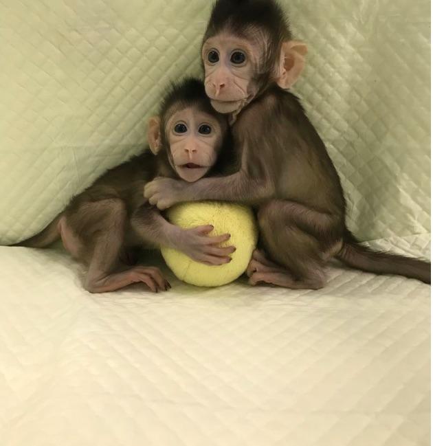 Monkey-clones
