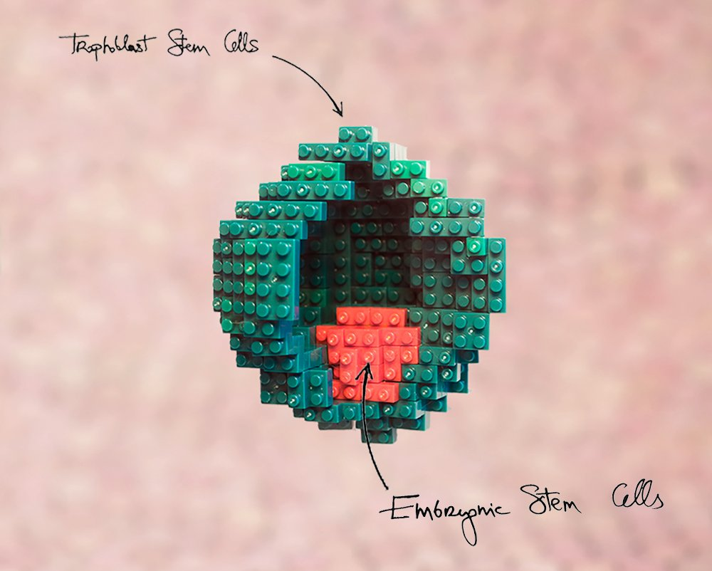 embryo-model-legos-1