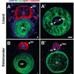TGIF Weekend Science Reads: stem cells, PRP, CIRM, CRISPR, & more