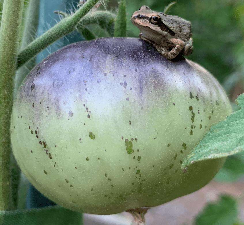 Frog-on-purple-tomato