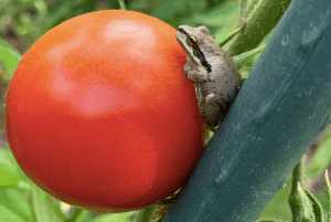 frog tomato stool