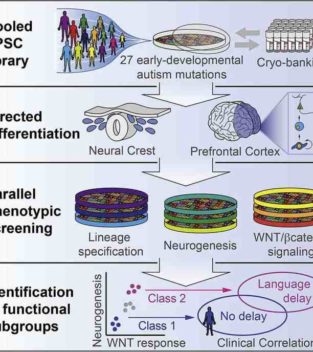 Cederquist graphical abstract Cell Stem Cell 2020, stem cells