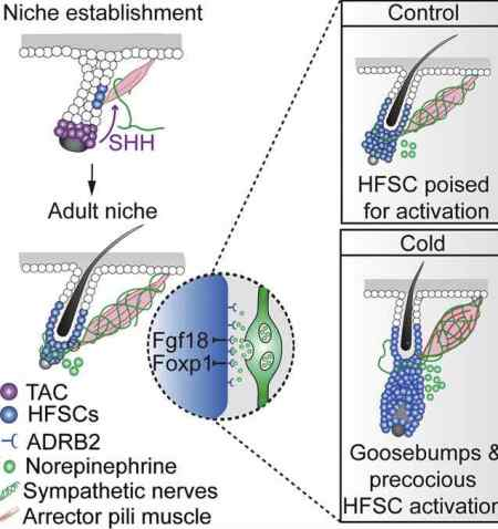 goosebump stem cells