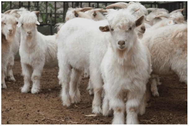CRISPR'd goats