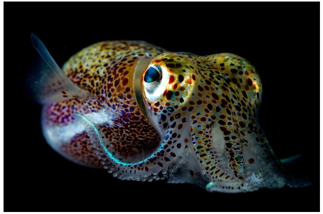 Hawaiian bobtail squid (Euprymna scolopes)