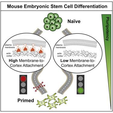 bergert cell stem cell 2020 cell mechanics