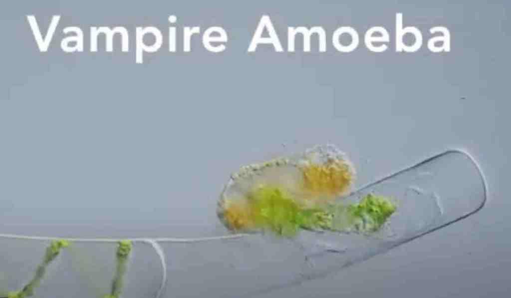 vampire-amoeba-sm