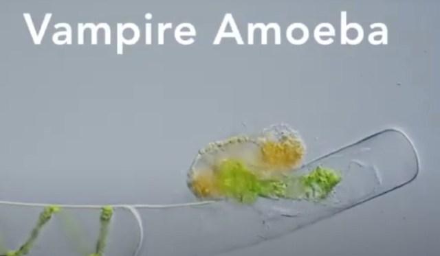vampire amoeba