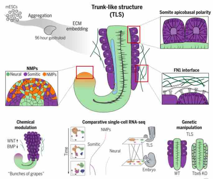 es cells embryos matrigel the niche sm