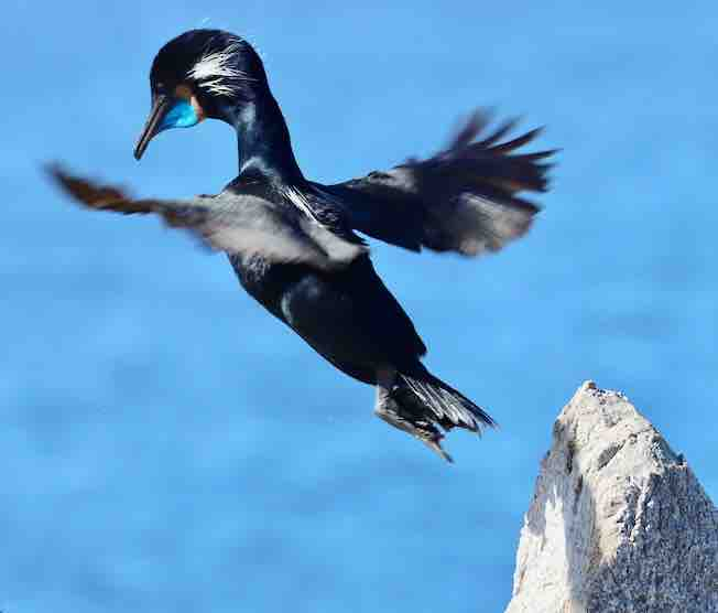 brandts cormorant jumping sm