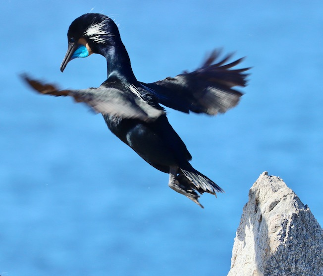 brandts cormorant jumping