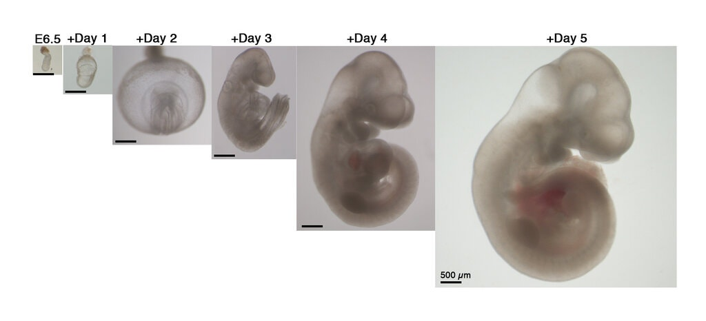 mouse embryos grown outside the lab