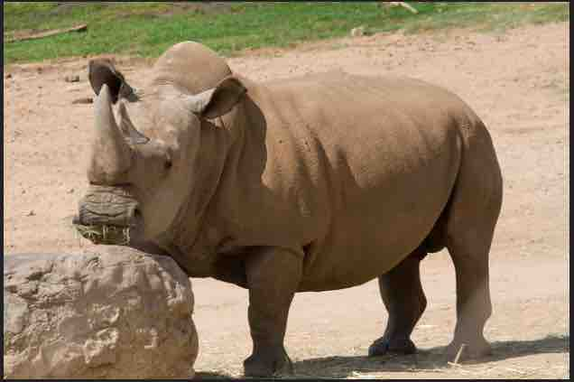 northern white rhino featured