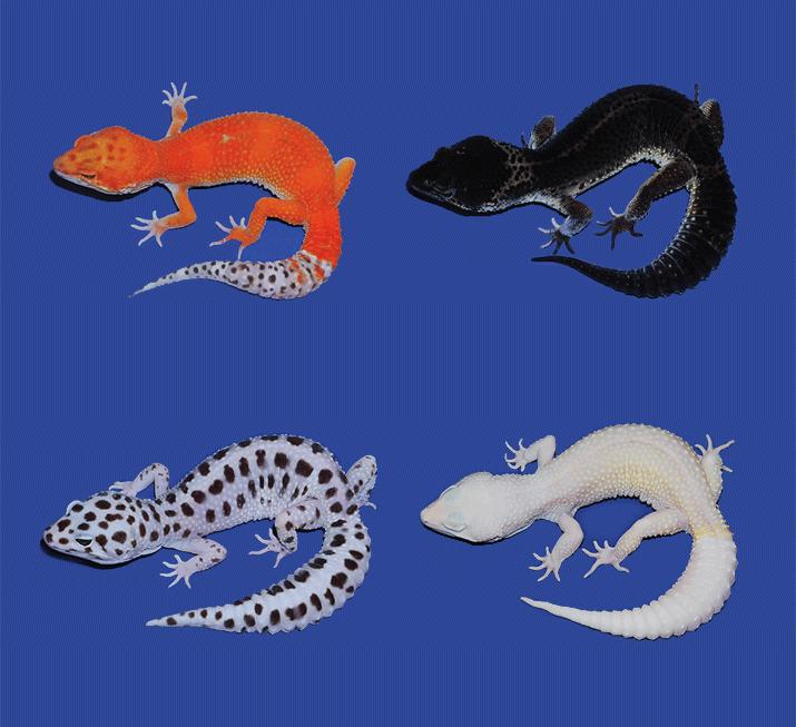 gecko cancer