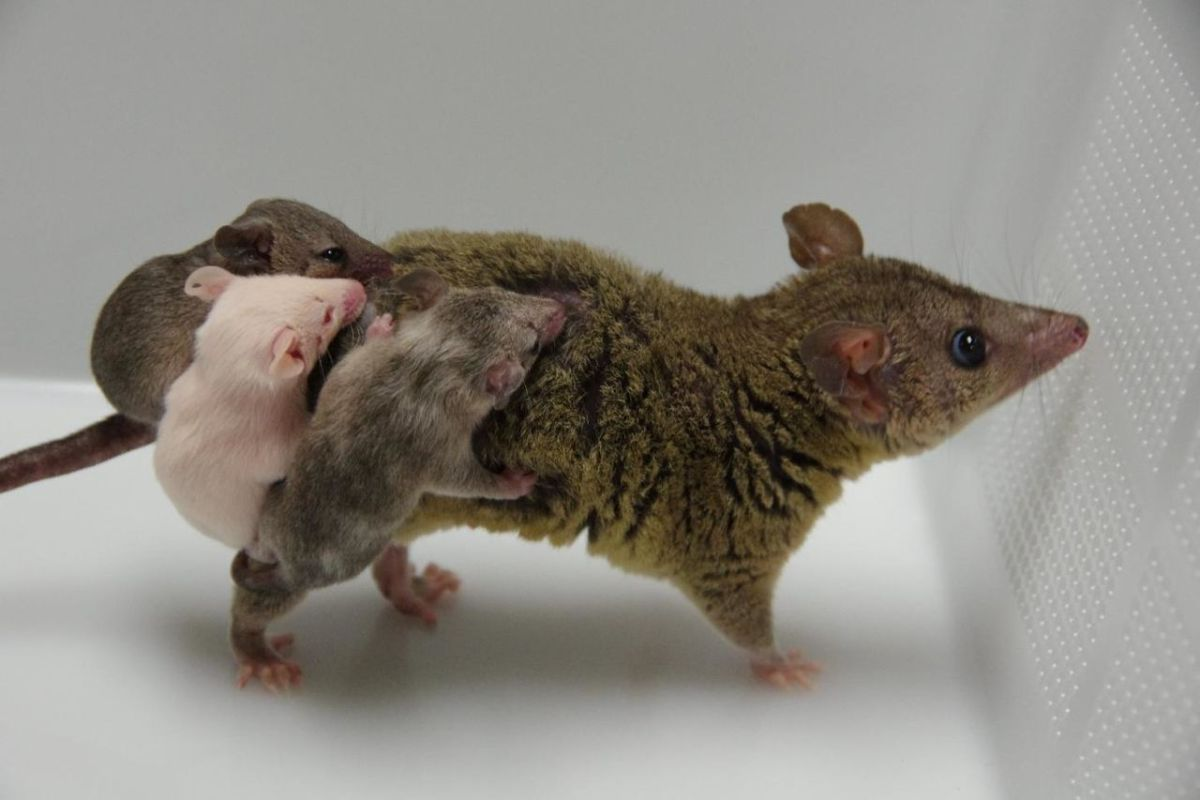CRISPR opossums
