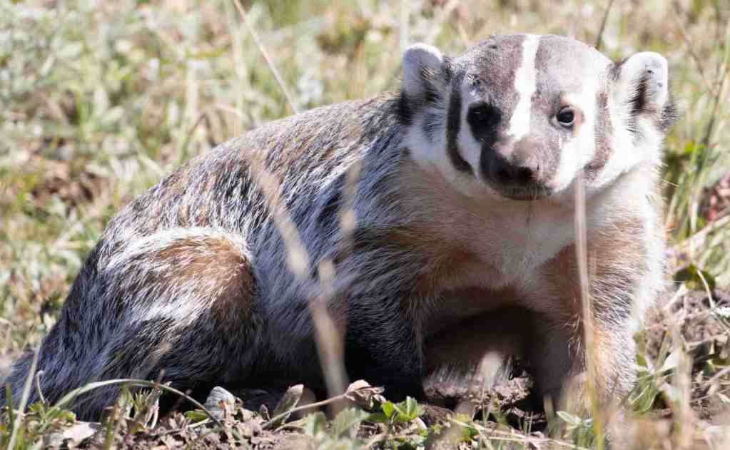 A badger in Yellowstone Park. Photo Paul Knoepfler. Could you make organoids from one?