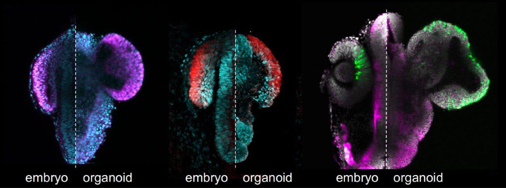fish-eyes-from-stem-cells, stem cells for vision