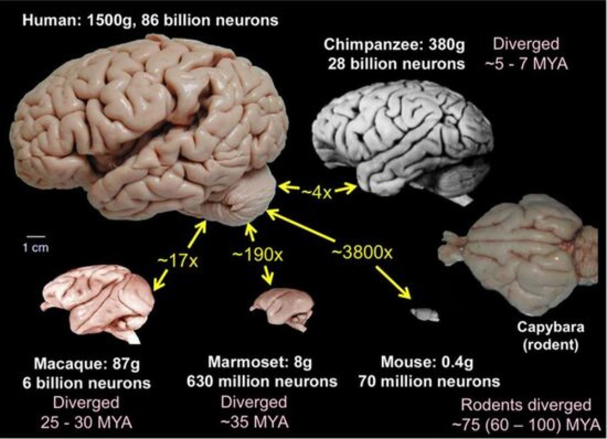 human mouse marmoset brain