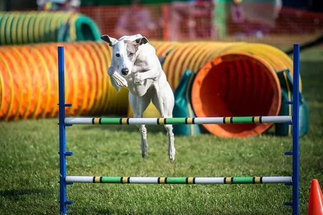 Agility Training for Greyhounds