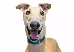 Greyhounds Breed