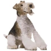 Foods to Feed Fox Terriers