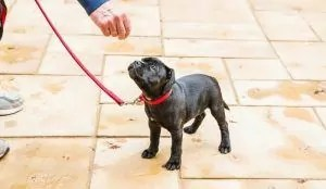 Puppy on a leash given a treat