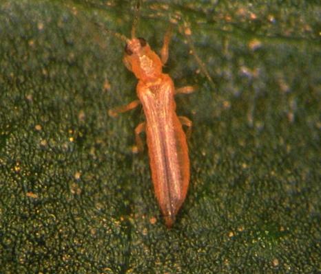 Frankliniella occidentalis