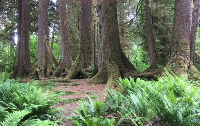 Olympic NP - Trees in a row