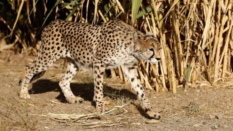 A female Asiatic cheetah named 'Dalbar' Iran