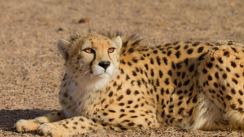 On The Verge Of Extinction: Cheetah Killed In Road Accident