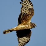 A female hen harrier takes to the air