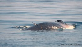 Manx Shearwater crossing the back of a surfacing fin whale