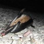 Dead Common Dolphin, Achill Island