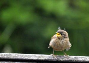 Fledgling Wren