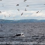 Minke whale lunging beneath a group of gannets