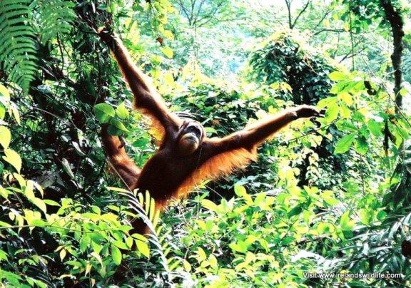 Orang-utan conservation
