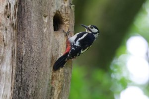 An adult Great Spotted Woodpecker at a nest hole with food
