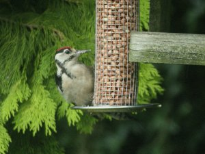 Juvenille Great Spotted Woodpecker at feeder in Wicklow