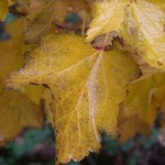 hazel-trees-with-autumn-leaves