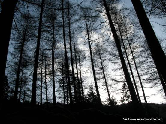 Larch trees at Gougane Barra to be felled