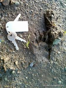 A badger print in mud