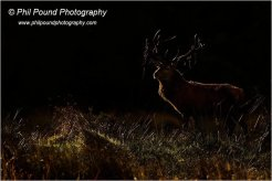 Stag, late evening light, Wicklow Mountains