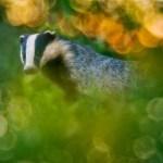 39_Marc Steichen (Luxembourg)-Badger dream scene