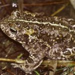 Natterjack toad making a comeback in Co. Kerry