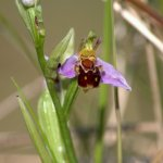 Bee Orchid, The Warren, Rosscarbery