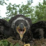 White tailed eagle chick mountshannon