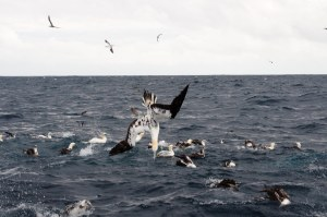 Seabirds are often indicators of whale and dolphin activity